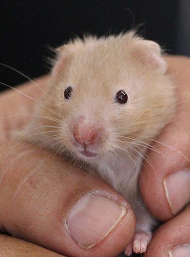pet shop, hamsters, rats, pet rodents