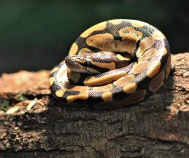 ball python, pet snake