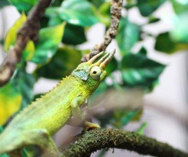 Jackson's Chameleons, reptile