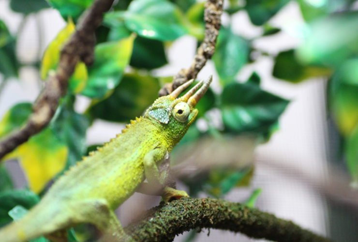 How To Care For Your Jackson S Chameleon Allan S Pet Center