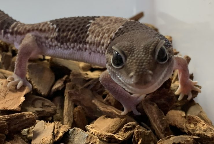 Fat tailed gecko