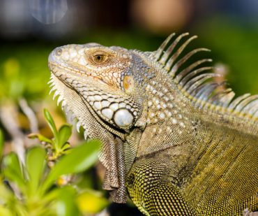 How to care for your iguana