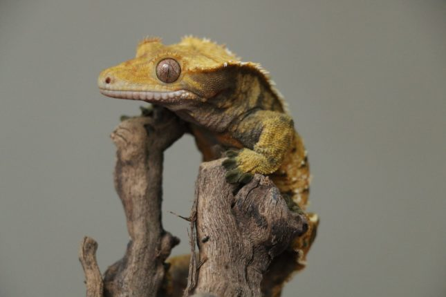 Crested gecko 2