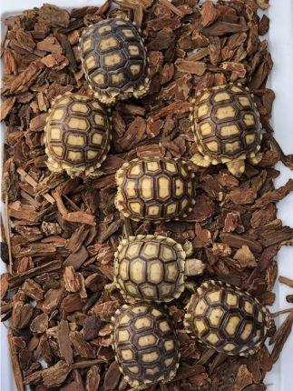 Sulcata tortoise 3