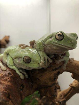 White's tree frog 3