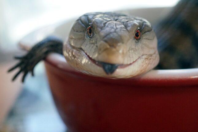 Blue tongued skink best lizard pets 2