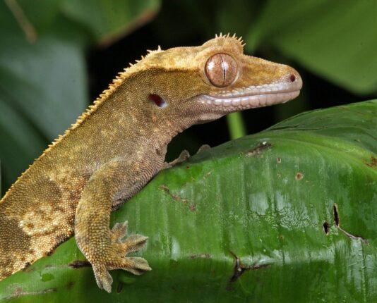 Crested gecko best lizard pets 3
