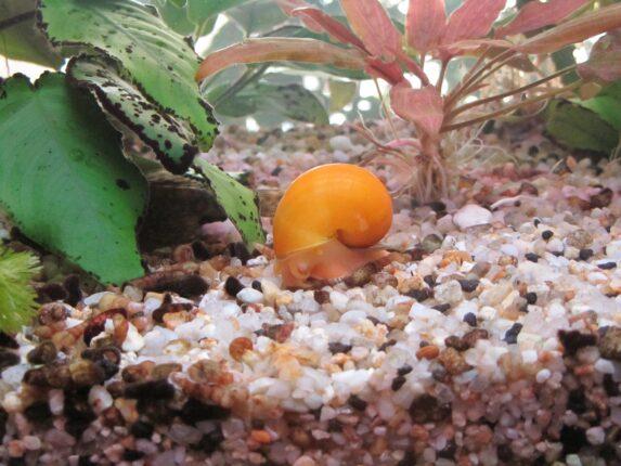 Freshwater snails 2