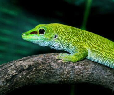 Giant day gecko on a branch