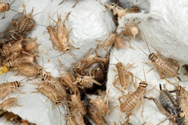 Brown Feeder Crickets