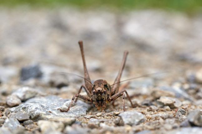 brown cricket picture