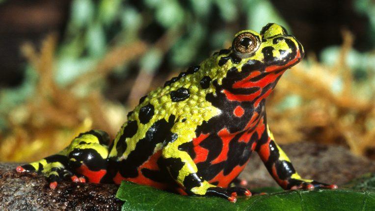 Best Amphibian Pets for Beginners Oriental Fire-bellied Toad
