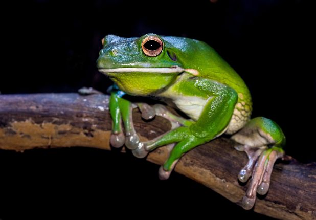 Best Amphibian Pets for Beginners The American Green Tree Frog