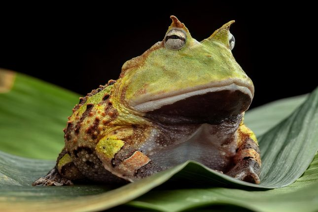 Best Amphibian Pets for Beginners Argentine Horned Frog