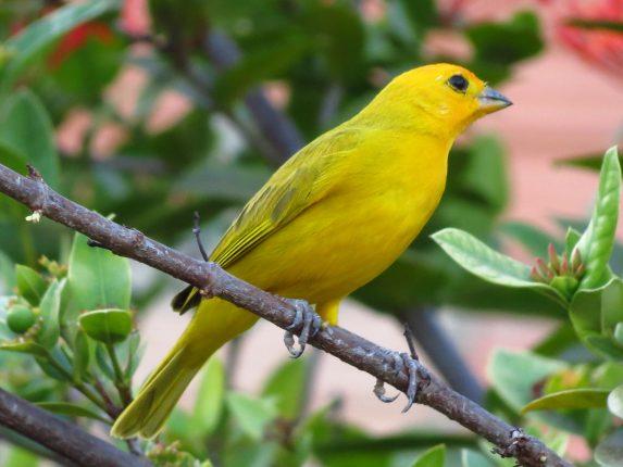 Yellow canary best bird pets