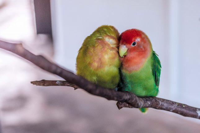 lovebirds best bird pets