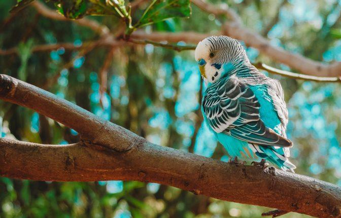 parakeet or budgie