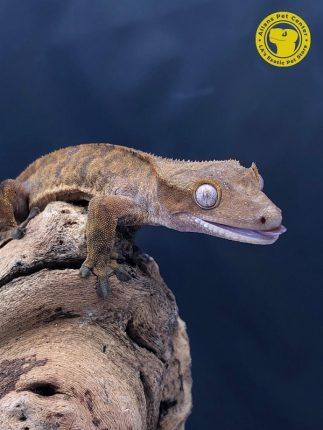 Crested Geckos are just one of the many reptiles at Allan's Pet Center.