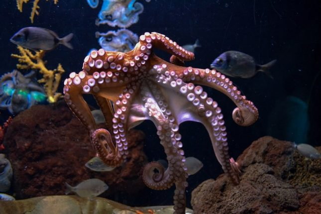 An octopus, one of the most intelligent invertebrates.